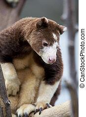 bear like marsupial - Matschie's Tree Kangaroo resembling a...