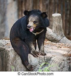 Bear - Malayan sun bear.