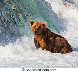 Bear on Alaska - Brown bear on Alaska