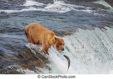 Bear on Alaska - Brown bear on Alaska