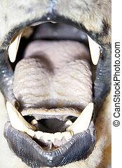 Bear open mouth - Angry polar bear open mouth