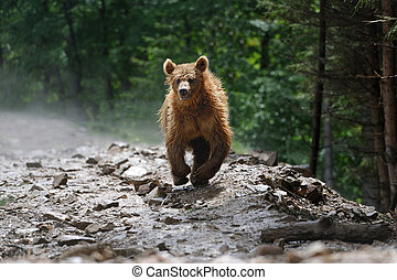 Bear - Brown bear in forest after rain
