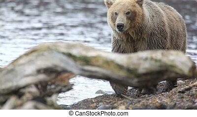 bear portrait