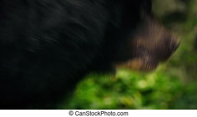 Bear Showing Stress - Black bear moving around erratically...