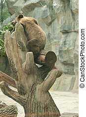 Bear sits in a tree