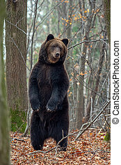 Bear standing on his hind legs in the autumn forest