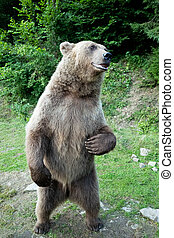 bear stands on its hind legs