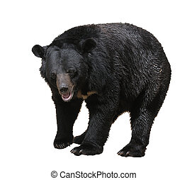 Bear - Large bear with black fur at the zoo, isolated.