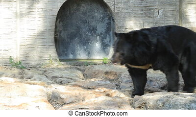 Bear  - Brown Bear in the safari in Israel