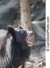 bear, sun, malayanus, malayan, asia, zoo, helarctos, funny, ...
