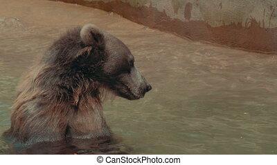 Bear swimming in 4K - A swimming / bathing bear in 4K UHD