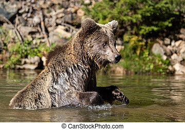 Bear (Ursus arctos) in lake. Autumn time