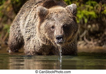 Bear (Ursus arctos) in lake. Autumn time