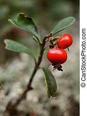 Bearberry. - Two berries a bearberry and some leaves against...