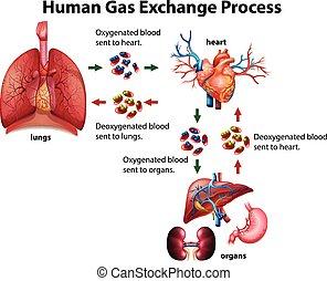 bearbeta, diagram, gas, mänsklig, utbyte