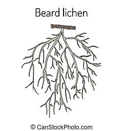 Beard lichen Usnea barbata , or tree moss. Hand drawn...