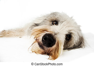 Bearded Border Collie sitting - Close up shot of a Bearded...