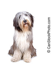 Bearded collie, highland collie