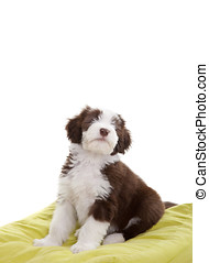 Bearded collie pup - Cute young bearded collie pup sitting...