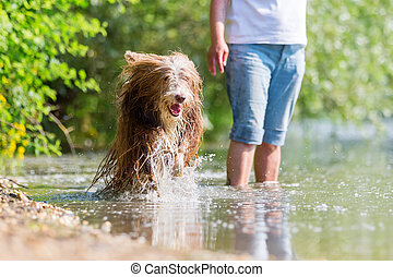 bearded collie running in a lake