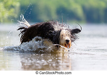 bearded collie runs in a lake