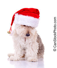 bearded collie with santa hat