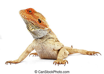 Bearded dragon on white background