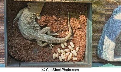 Bearded dragon deposing eggs - Female of bearded dragon ...