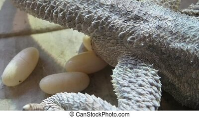 Bearded dragon deposing eggs - Female of bearded dragon...