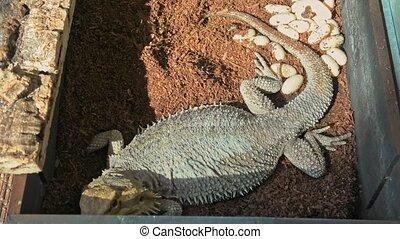Bearded dragon deposing eggs. Pogona vitticeps species. ...