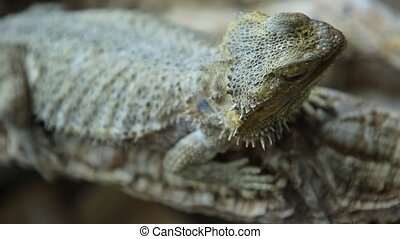 Bearded Dragon lizard head with scales close up. Australian...