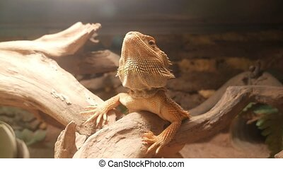 Bearded dragon lizard sitting on a tree branch in terrarium and turning his head.