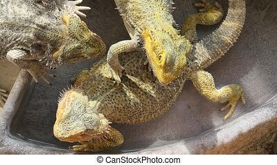Bearded Dragon lizards in the water pool - The Bearded...