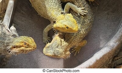 Bearded Dragon lizards playing - Bearded Dragon lizard...