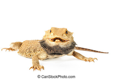 Bearded Dragon on a white background.