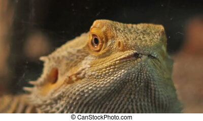 Bearded Dragon Portrait - Close up shot with the bearded...