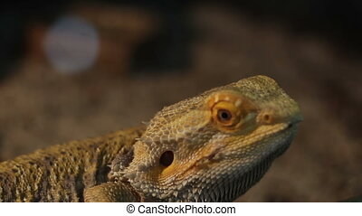 Bearded Dragon Reptile - Close up shot with the bearded...