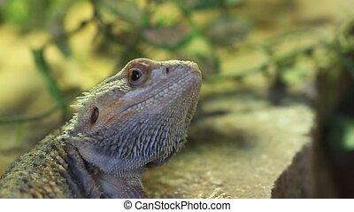 bearded dragon - scientific name :  pogona barbatus