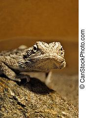 Bearded dragon