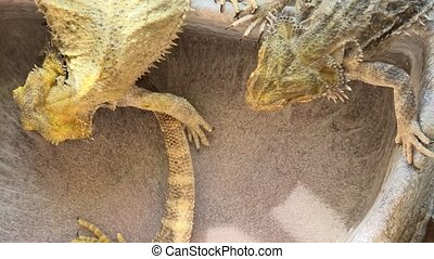 Bearded Dragons drinking - Bearded Dragon or Pogona...