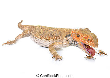 bearded dragons eating cricket in front of white background