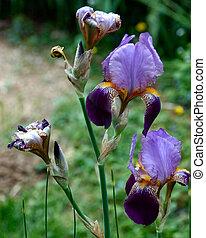 shot of bearded iris cluster bloom