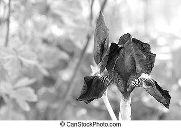 Bearded iris flower in garden, macro
