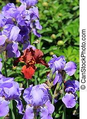 Bearded Iris in garden