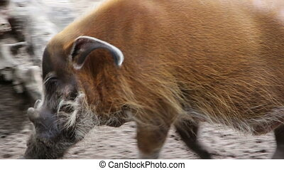 Bearded pig - Shot of Bearded pig