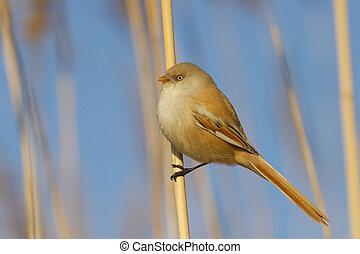 bearded reedling female bird - bearded reedling female sits ...