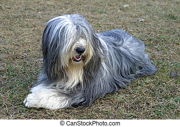 Bearded - Young dog long hair, lying on the lawn