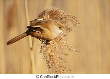 Bearded tit feeding on seeds in a reed bed - Close up of a...