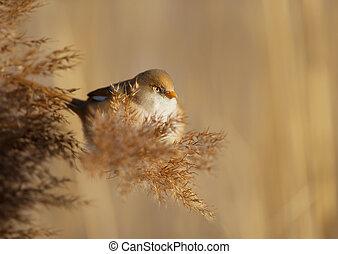 Bearded tit feeding on the reeds - Bearded tit (Panurus...