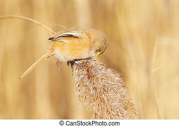 Bearded tit female feeding on seeds - Bearded tit (Panurus...